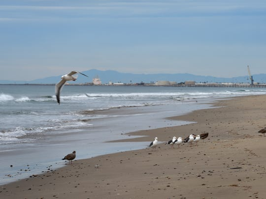 A flock of gulls rests along the shore at Ormond Beach.
