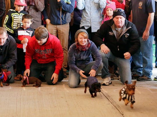 Al and Al's Oktoberfest weiner dog race participants start a race heat Saturday October 3, 2015 in Sheboygan.