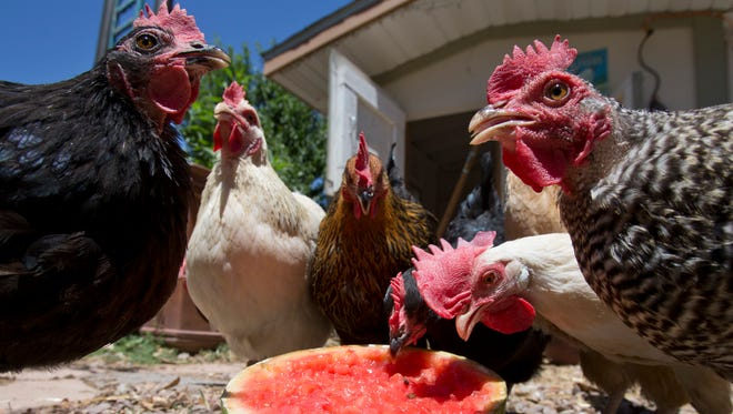 Chickens eat a melon in a Valley yard.