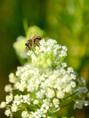 A honey bee sits on a flower at the MSU bee research