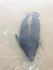 The body of a manatee that was found this past November