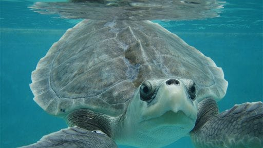 In this July 25, 2010, photograph released by the Institute for Marine Mammal Studies, a Kemp?'s ridley sea turtle swims at the  Center for Marine Education and Research in Gulfport during its rehabilitation.