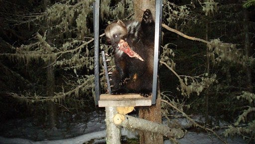 This undated photo provided by wildlife biologist Audrey Magoun shows a wolverine at a bait station in the Eagle Cap Wilderness in the Wallowa Mountains in Oregon. A track found in the northwest corner of the Wallowa-Whitman National Forest is the latest evidence biologists have of wolverines in Oregon.