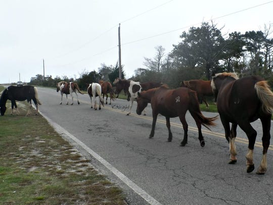 The south herd of Chincoteague ponies headed for the