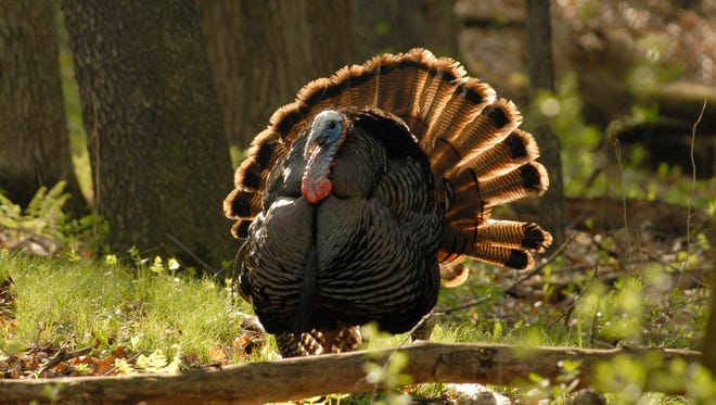 "A male turkey displays in the springtime in this photo provided by Sherburne National Wildlife Refuge. The first of Minnesota's five spring wild turkey hunting periods opens April 13. ""When you go turkey hunting, you're trying to be a hen and get the gobbler to come to you. So you're almost fighting nature's instinct a little bit. Because it's usually the tom that gobbles and the hens come to him,"" said hunter Jason Kirton, who will lead a mentored youth hunt on the refuge this spring."