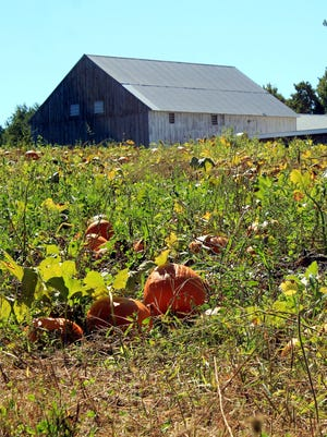Pumpkins are harkening in fall at Clearview Farms, in Sterling.