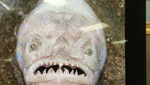 A stargazer fish was spotted in Virginia Beach.