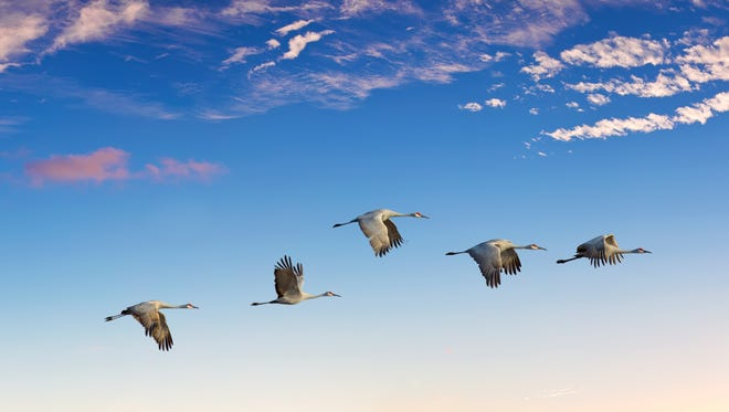 Flock of sandhill cranes during migration