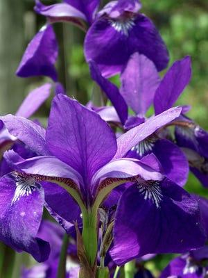 Siberian Iris is a moisture-loving perennial.