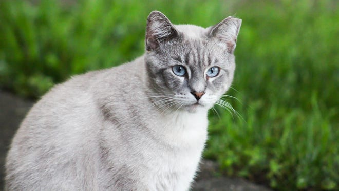 A tipped left ear indicates that a feral cat has been vaccinated and neutered in a trap, neuter, and return program.