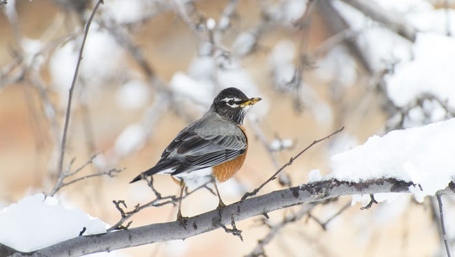 American robin stand on a branch. Robins have a mating ritual of which there are few details.