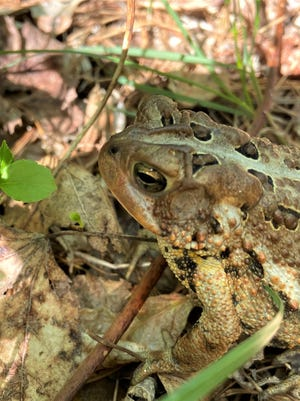 The enlarged, kidney-shaped parotid glands over this toad's eye are the gland that releases the toxins that make toads so distasteful to dogs.