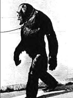 Oliver didn't look quite like other chimps. He had black fur and pinkish-brown skin, and a small, egg-shaped head, which was bald. He had pointed ears and even freckles, and had little or no body odor.