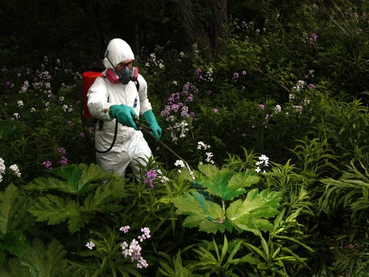 Giant hogweed eradication, 2010