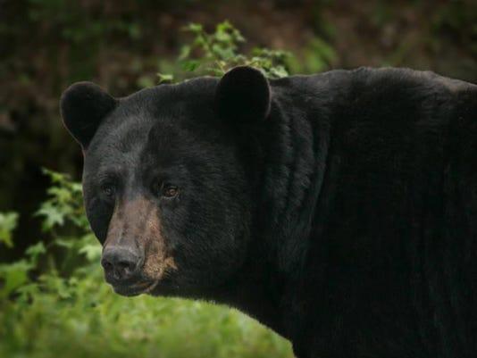 -big black bear.jpg_20110413.jpg