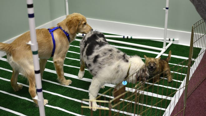 """Several puppies play and wrestle on a small football field set up for the first-ever """"Puppy Bowl,"""" held on Sunday, Feb. 5, 2017, at the Vermont Dog Club in Essex Junction."""