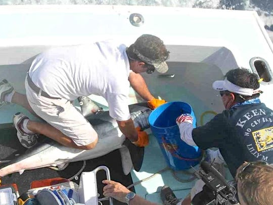 This team is fitting a mako shark with a satellite-monitoring transmitter in the Guy Harvey Research Institute tagging study. Hell's Bay, one of more than 40 sharks in the study, has traveled over 13,000 miles in a 20-month period.