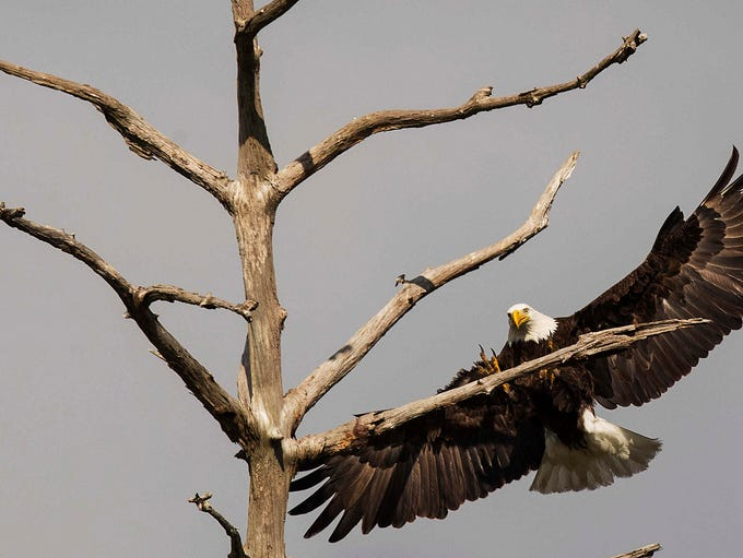 One of the eagles from the Dick Pritchett Real Estate