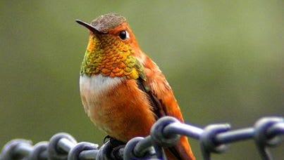 A Rufous hummingbird is a  common winter visitor to  Middle Tennessee.