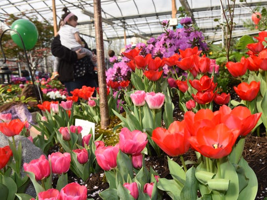 Tulips line the gardens at Adams Fairacre Farms in