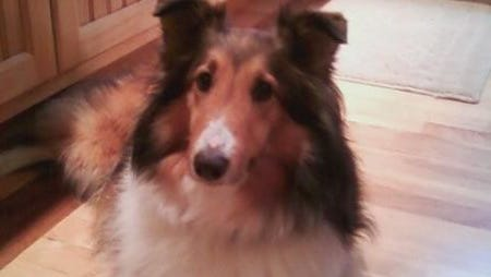 Meggie, a Shetland sheepdog who ran away from her Pittsford home on July 1, 2012, was successfully found in March. Many people assisted in the search for her.