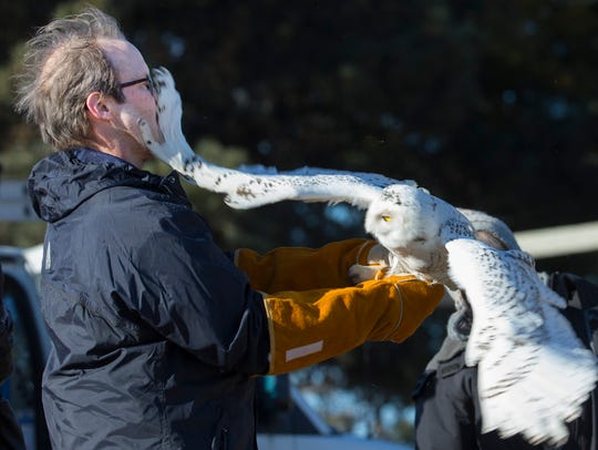 Scott Diehl releases a snowy owl back into the wild