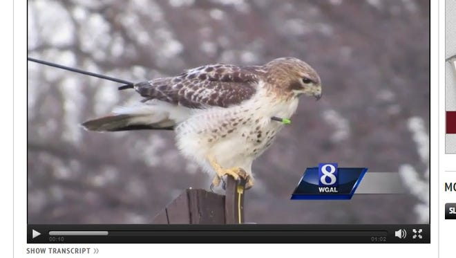 Wildlife officials are trying to find and treat this wounded hawk, according to WGAL.com