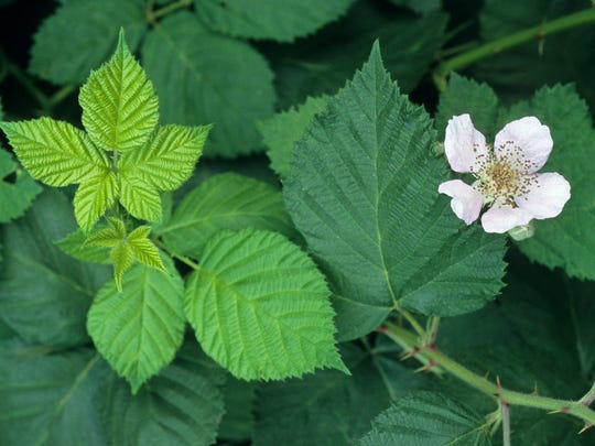 The leaves and flower of the Himalayan blackberry, Rubus armeniacus. Note how the leaves are fuller with a continuous serrated edge.