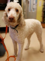 Lucy is a 4-year-old standard poodle taken from a hoarding