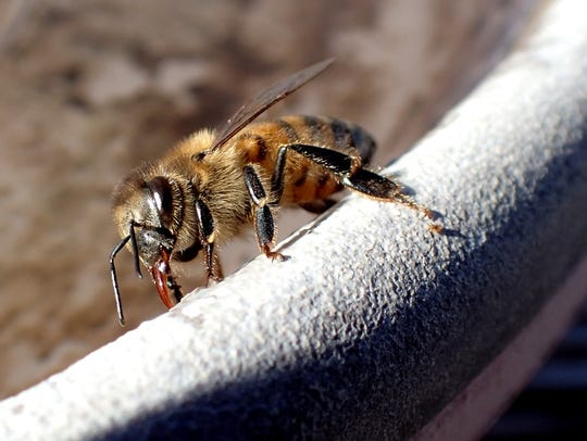 A wild honey bee laps up a few drops of water.