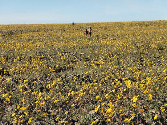 A display of Desert Gold flowers 10 miles south of