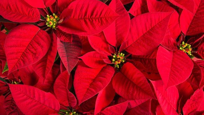 Closeup of red poinsettias (Euphorbia pulcherrima) flower background