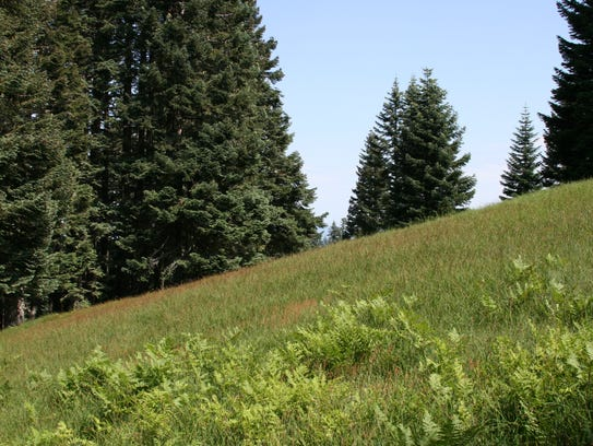 Marys Peak meadows have been becoming invaded by noble