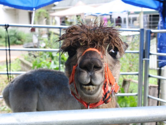 Nyala Farm's 89 alpacas were on display during the