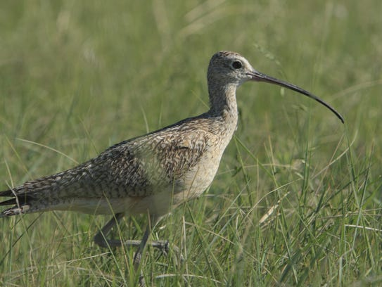 Grassland birds such as the long-billed curlew, endemic