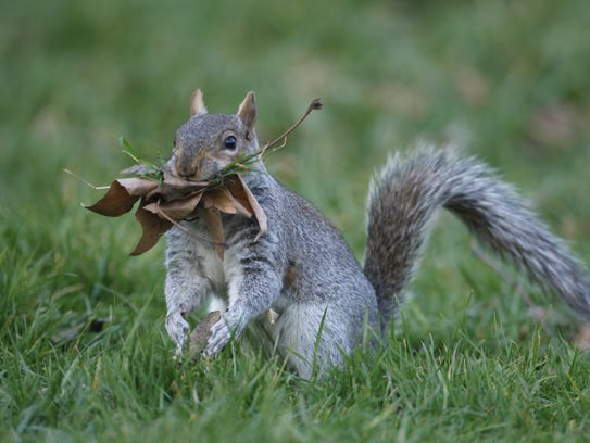 The gray squirrel is common in Florida.