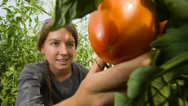 Colorado State University Horticulture graduate student Sara Kammlade checks organic tomatoes at the Horticulture Research Center, September 19, 2012.