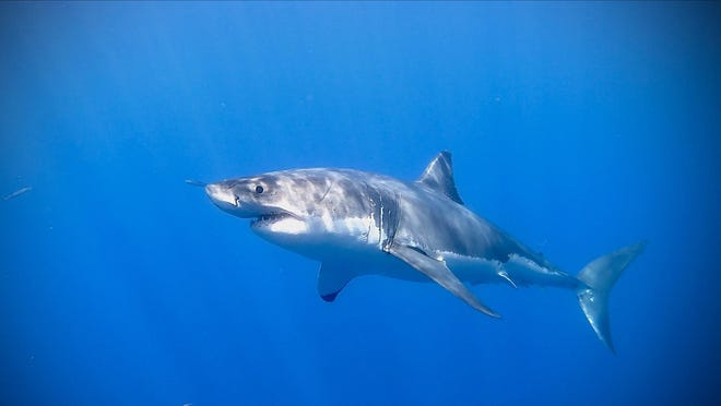 An image of a great white shark provided by the Atlantic Shark Institute.