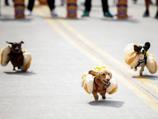 Dachshunds race to be crowned the winning wiener at the Running of the Wieners, Friday, September 16, 2016, on Race Street between Second Street and Freedom Way in downtown Zinzinnati before Oktoberfest.