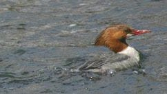 Photo of drake (left) and hen (right) common mergansers.