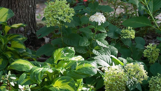 Shadowland Etched Glass hosta will reach 18 inches tall and spread outward 3 feet and makes a great partner with hydrangeas.