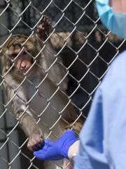 More clicker training at Primate Products with a rhesus monkey.