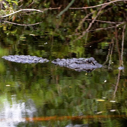 Moon overthe swamp: Fakahatchee'moonlight tram'reconnects visitors to natural Florida