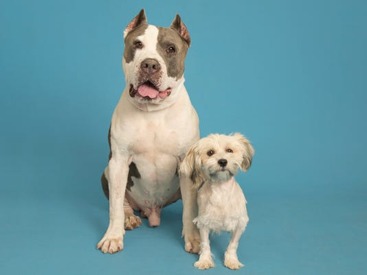 Pit bull save poodle