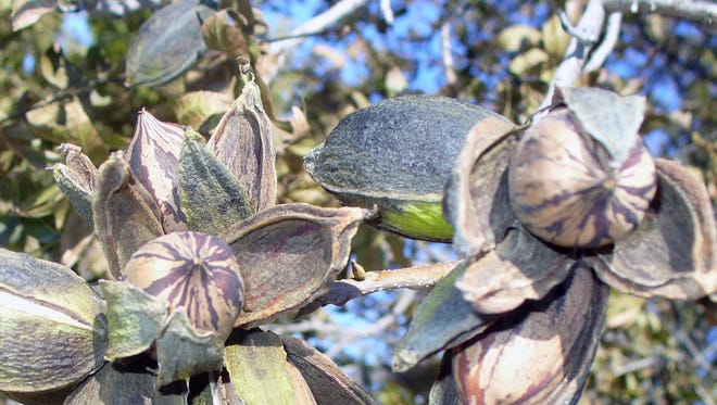 An emergency pecan weevil quarantine began Nov. 20 and remains in effect for 180 days for Chaves, Curry, Eddy and Lea counties.