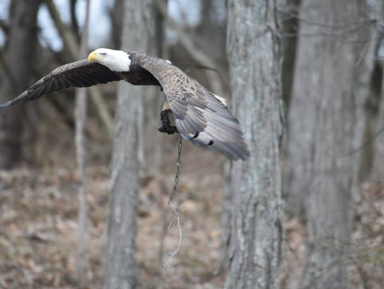 Social media users are concerned about a bald eagle