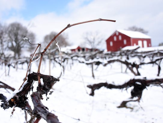 Grapvines have not budded out yet at Wenger grape farm