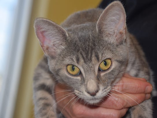 Brenda, a 3-month-old kitten with a heart condition,