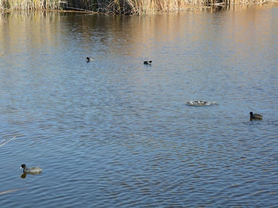 Coots swim on Ayer Lake at Boyce Thompson Arboretum.