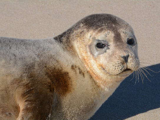 This harbor seal rested on Conquest Beach for a while